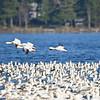 ESC_3884 Snow Geese Nov 15 2017