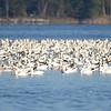 ESC_3833 Snow Geese Nov 15 2017