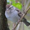ESC_3644 Chipping Sparrow Oct 29 2017