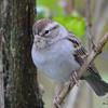 ESC_3645 Chipping Sparrow Oct 29 2017