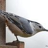 ESC_3664 White-breasted Nuthatch Oct 29 2017