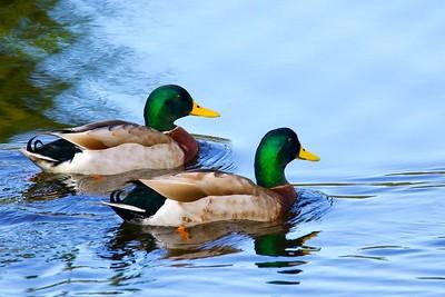 Duel Ducks