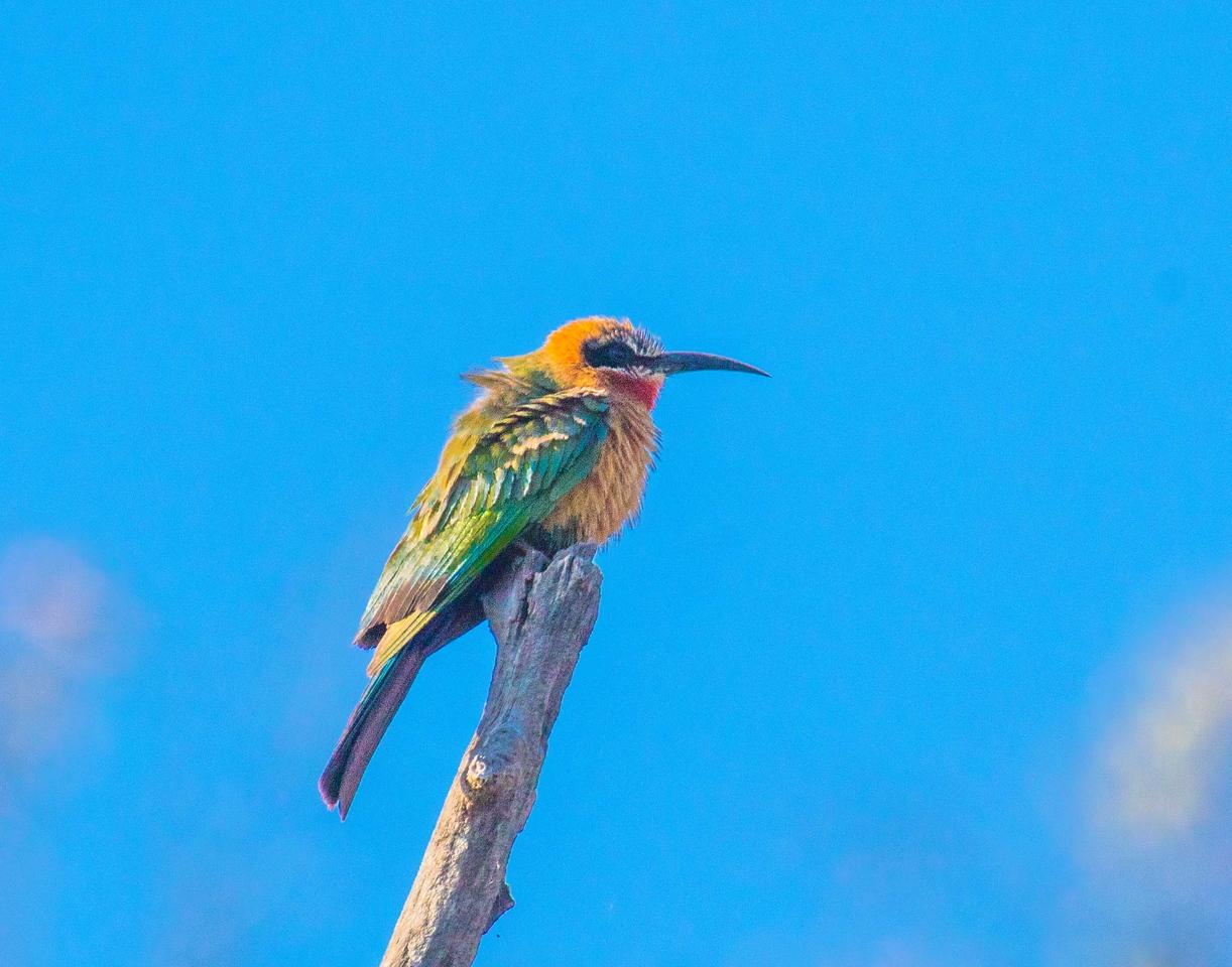 Zambia Bee-Eater-2657