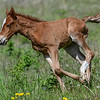 The foal has open wounds around the neck and on his left rear leg.