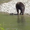 9-14-17 Bella Coola Grizzly Bears - Next Generation
