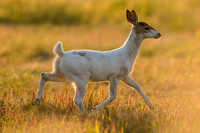 Piebald Deer: Genetics on Display  A genetic variation (defect) produces the piebald condition in white-tailed deer, not parasites or diseases. Piebald deer are colored white and brown similar to a pinto pony. Sometimes they appear almost entirely white.