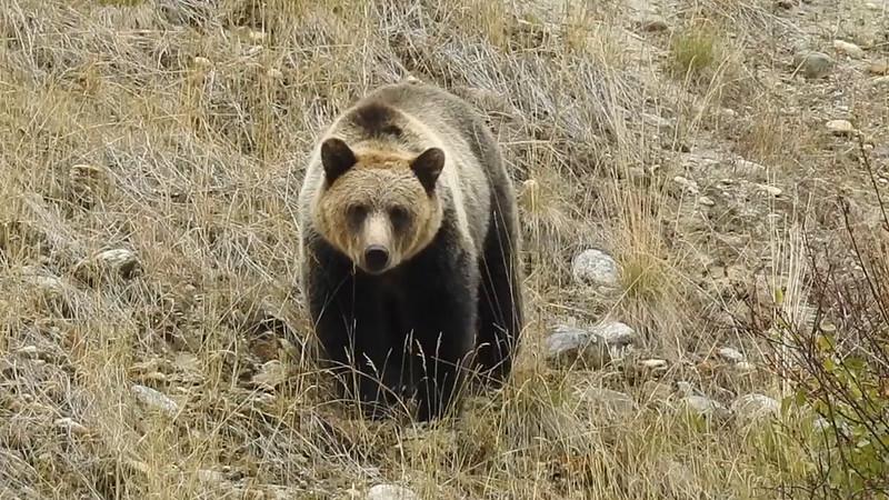 Bella Coola Grizzly Bear