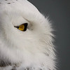 Kay is photographer from Muskegon Much. that I met in Bella Coola.  She gave me permission to post these photos of a snowy own she photographed in Muskegon.  It shows a different perspective of the snowy owl than we see around Calgary.
