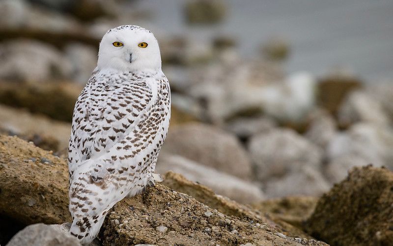 Kay is photographer from Muskegon Michigan  that I met in Bella Coola.  She gave me permission to post these photos of a snowy owl she photographed in Muskegon a few weeks ago.  It shows a different perspective of the snowy owl than we see around Calgary on the prairies.