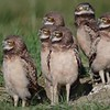 6-30-17 Burrowing Owl Family