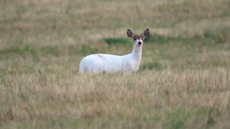 Piebald White Tail Deer II