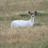 Piebald White Tail Deer II
