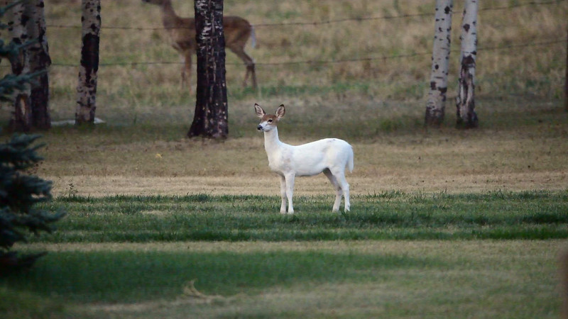 Video - Piebold White Tail Deer***