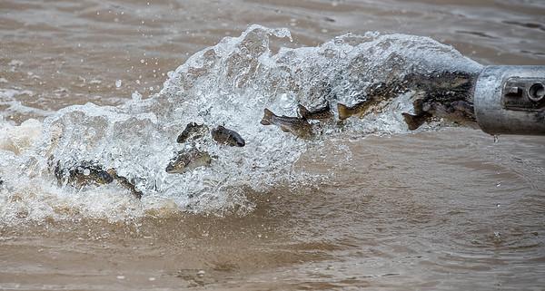 170405 Fish Stocking 1