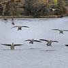 131106 Hyde Park Geese 3