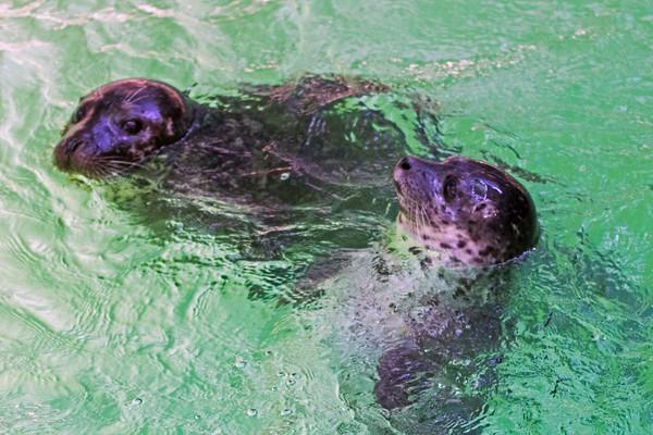 170803 Baby Harbor Seal 2