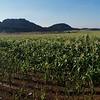 Corn field panorama.