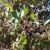 I found wild blackberries!