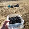 Blackberry U-pick harvest.
