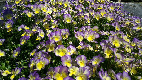 Viola Starry Night