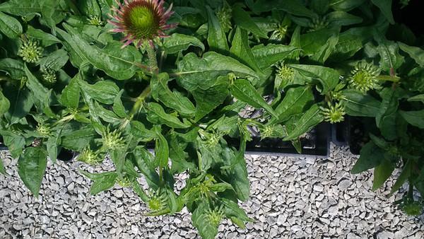 Echinacea Sombrero Series