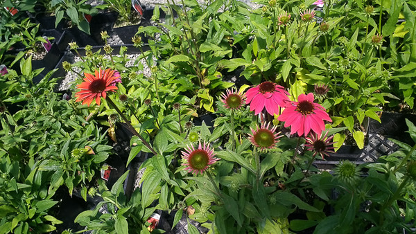 Summer time = Echinacea