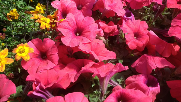Petunia Hells Bells Flaming Fruit Punch