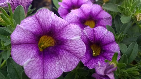 Cali Colibri Purple Lace