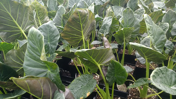 Alocasia Regal Sheild