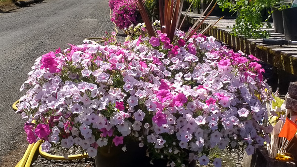 BIG Petunia Baskets