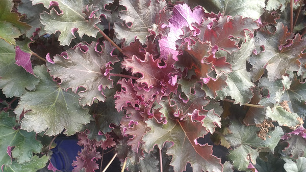 Heuchera Purple Petticoats