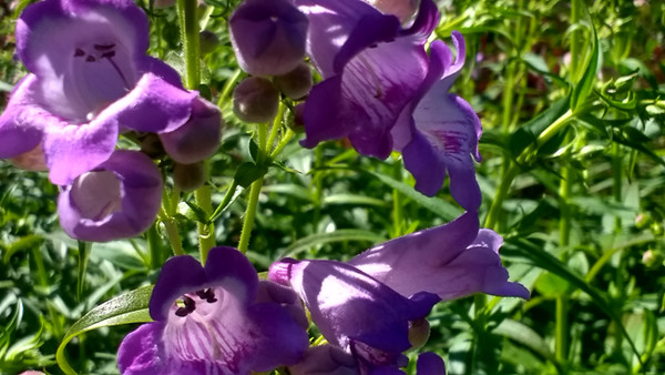 Penstemon Pike's Peak Purple