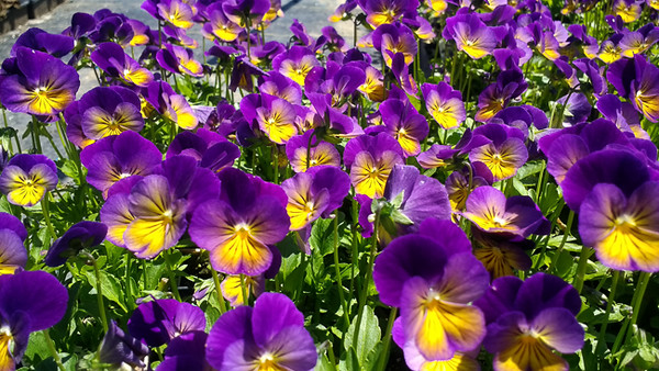 Viola Northern Lights