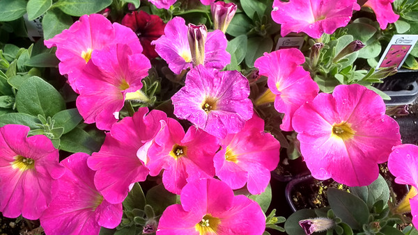 Petunia Hells Bells Flaming Rose