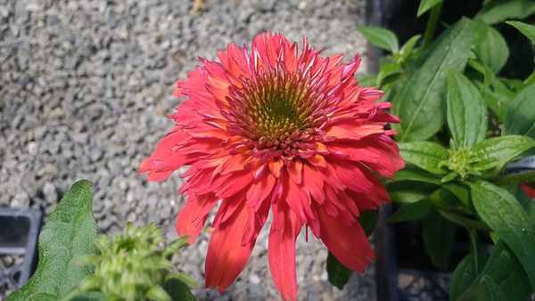 Echinacea Orange Berry