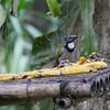 The bullies of the feeder - Black-headed Saltators