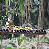 Feeders at the finca were full of birds - clay-colored thrush and Golden-fronted Woodpecker (Velasquez's)