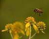 9/03/2017 Cromwell Valley Park Bee In Flight