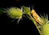 7/30/2017 Loch Raven Grasshopper Jousting on Teasel
