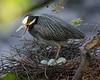 4/30/2017 Yellow Crowned Night Heron on Nest Below the Wyman Park Drive Bridge