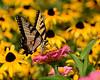 8/19/2017   Swallowtail Butterfly on Zinnia in Black Eyed Susans