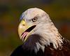 11/04/2017 Conowingo Bald Eagle