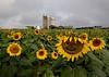 9/17/2017 Brooms Bloom Sunflower Field