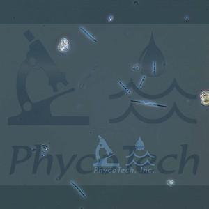 Synedra