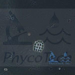 Platydorina