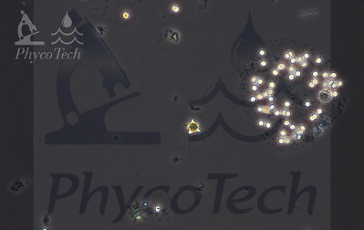 Polyedriopsis
