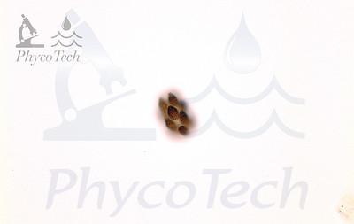 Pyrobotrys