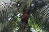 Climber getting coconuts