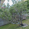 Apple tree in the backyard