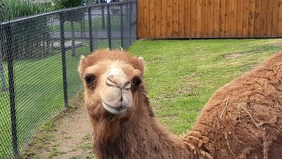 Smile Dromedary Camel